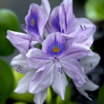Water Hyacinth - CBransto