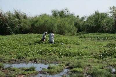 Water-Hyacinth-Harvesting